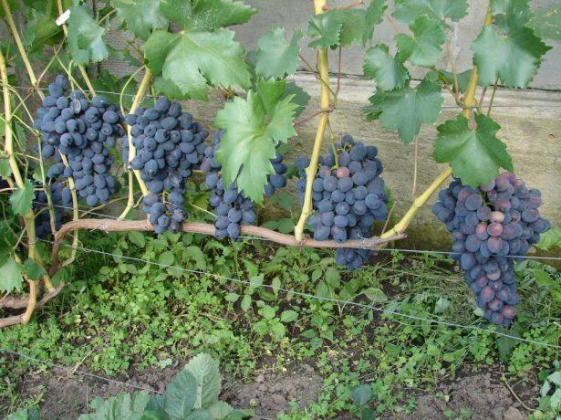 Ухоженный виноградный куст