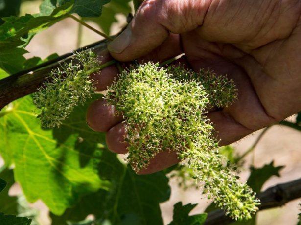 Нормирование урожая на винограде