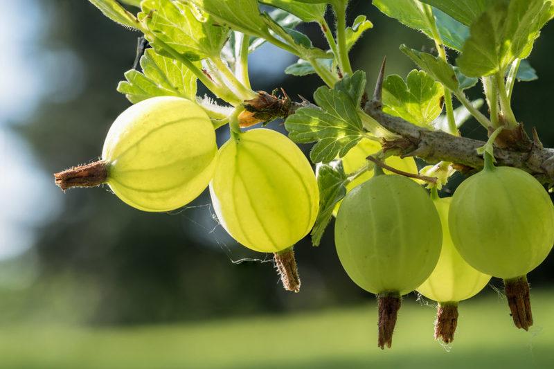 Крыжовник: что делать с кустарником после сбора урожая