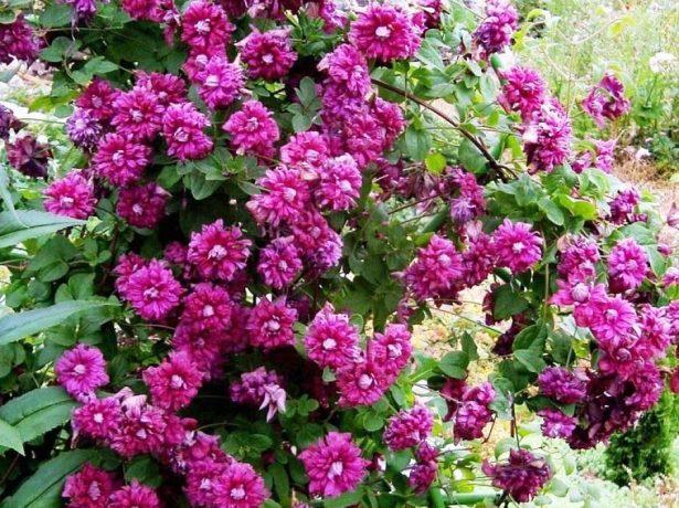 Цветение клематиса Пурпуреа Плена Элеганс