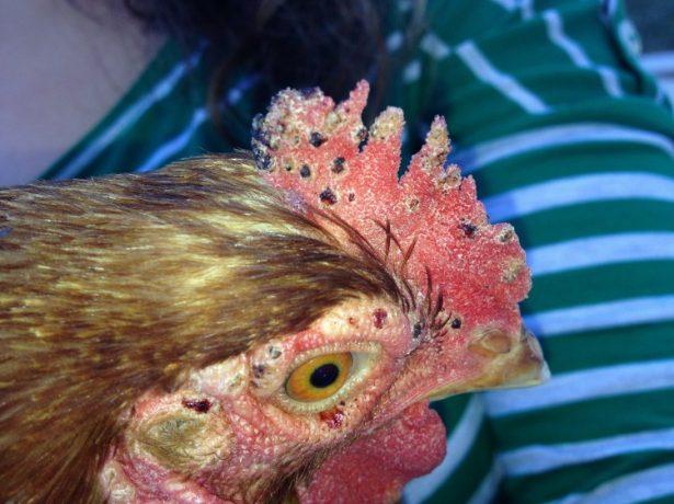 Симптомы поражения красным куриным клещом