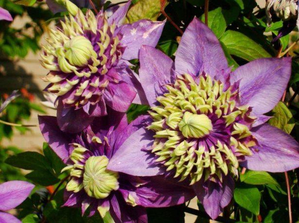Цветы клематиса Тайга на солнце