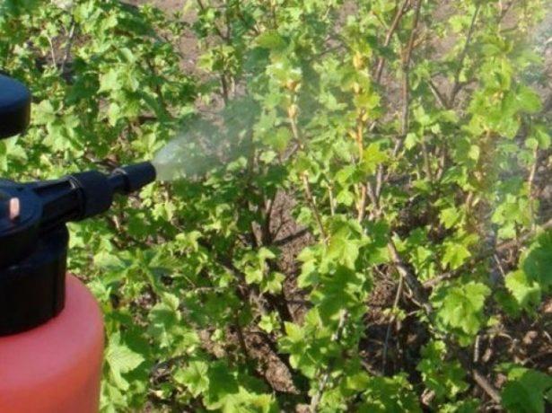 Опрыскивание смородины после сбора урожая