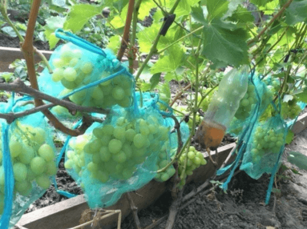 Виноград в сетках