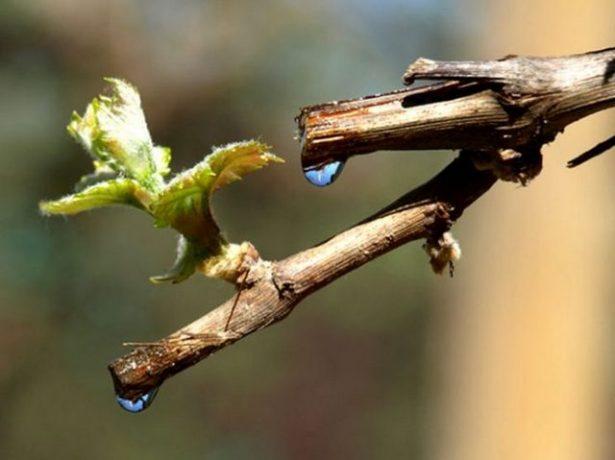 «Плачущая» виноградная лоза