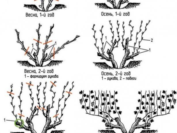 Бесштамбовая обрезка винограда в схемах