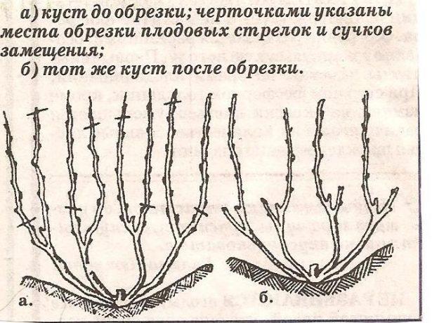 Обрезка плодоносящей лозы