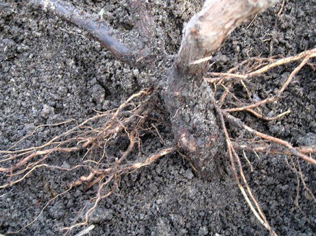 Корни винограда после зимы