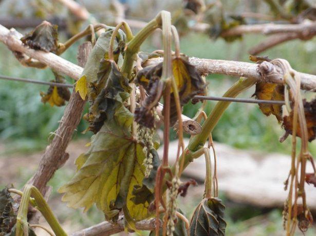 Виноград после возвратных весенних заморозков