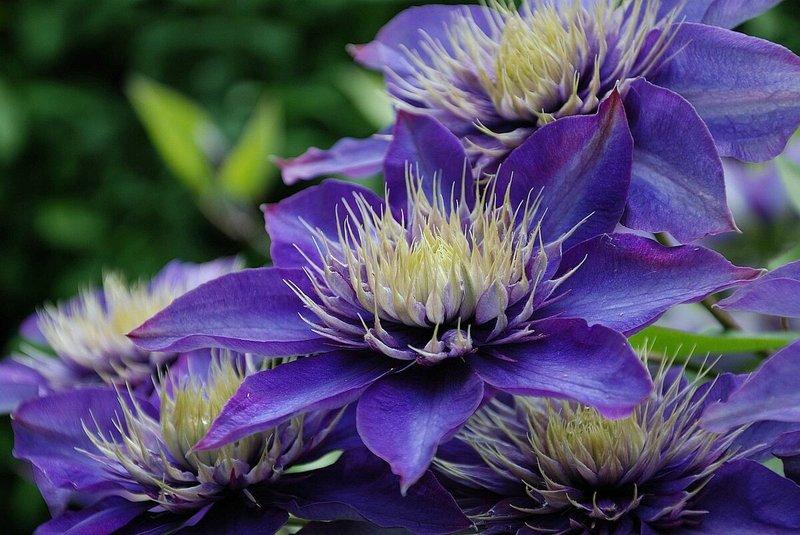 Мульти Блю: кустовидный клематис с махровыми цветками