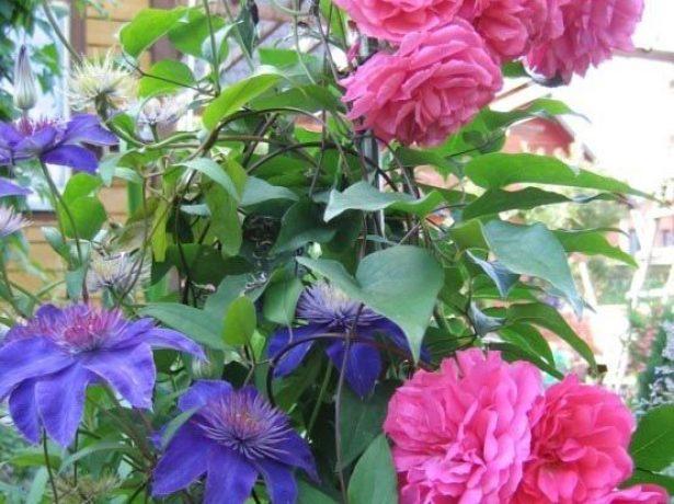 Клематис Мульти Блю и розы