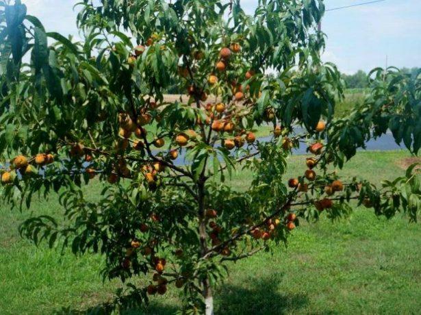 Дерево персика с плодами