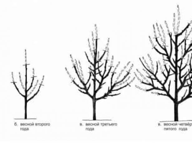 Схема формировки разреженно-ярусной кроны