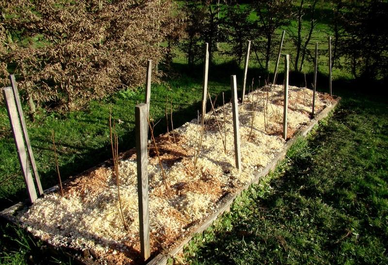 Посадка малины осенью в открытый грунт: преимущества, сроки и инструкции