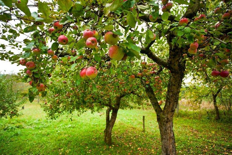 Чем подкармливать яблони и груши летом, чтобы получить хороший урожай