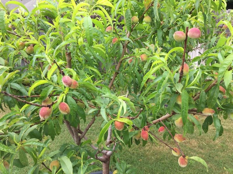 Загадочный сорт персика Воронежский кустовой: что о нём говорят