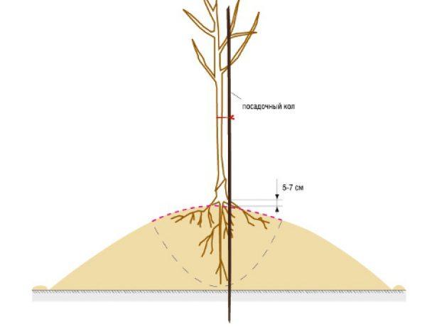 Правильное расположение корневой шейки во время посадки