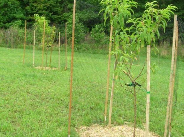 Подвязанные саженцы персика с замульчированным приствольным кругом
