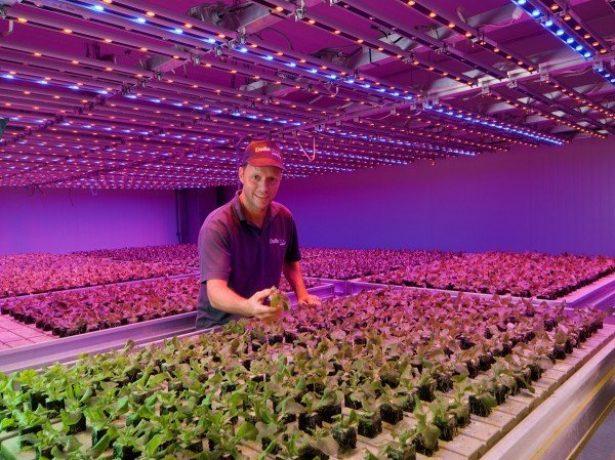 Клубнику выращивают под фитолампами