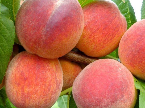 Персики сорта Редхейвен