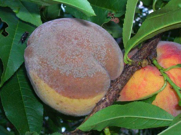 Плодовая гниль персика