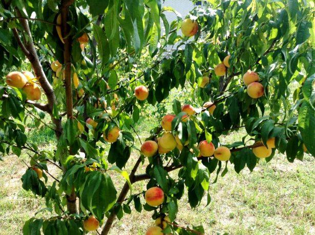 Дерево персика сорта Киевский ранний