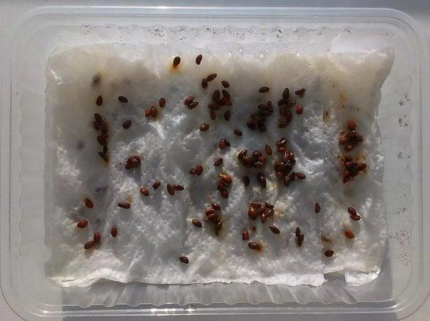 Яблоневые семена на бумажном полотенце