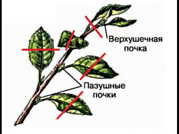 Верхушка побега яблони с линиями срезов