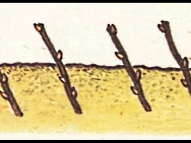 Черенки, высаженные под наклоном в грунт
