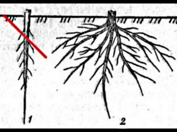 Стержневая и разветвлённая корневые системы яблони