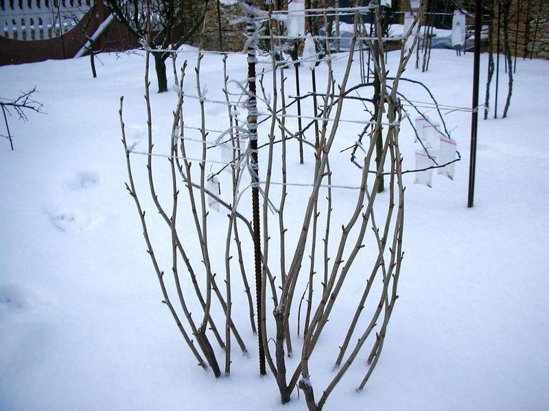 Связываем ветки смородины на зиму: нужна ли эта процедура
