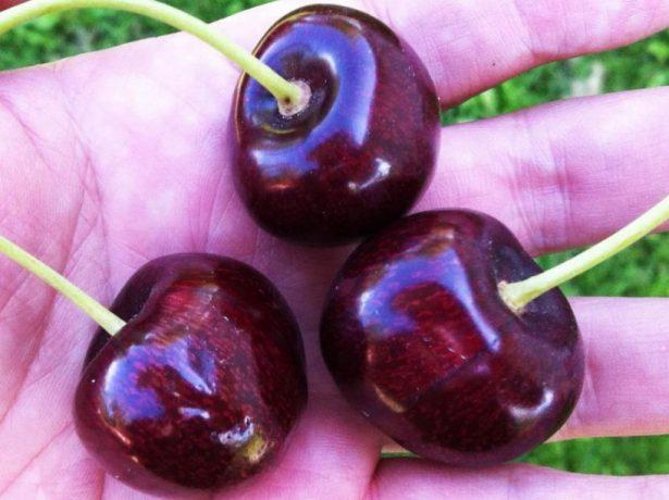Собранные ягоды черешни Свитхарт