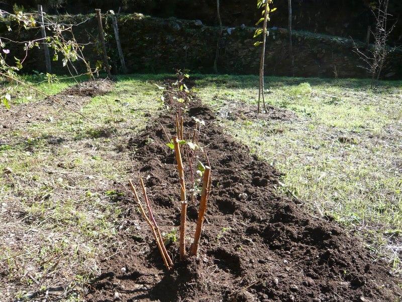 Правила пересадки малины осенью