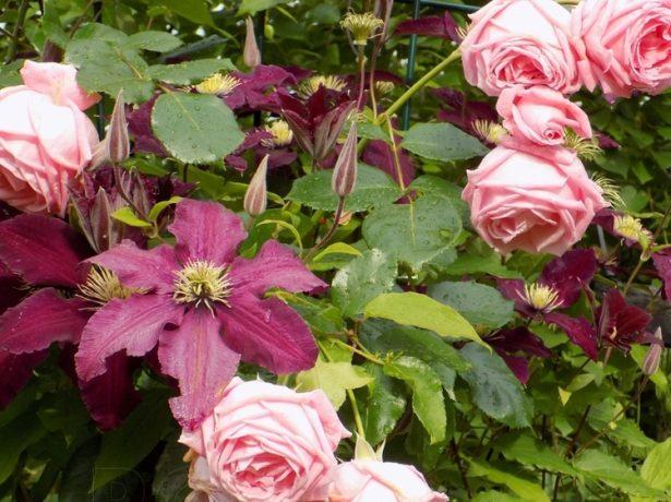 Клематис и роза