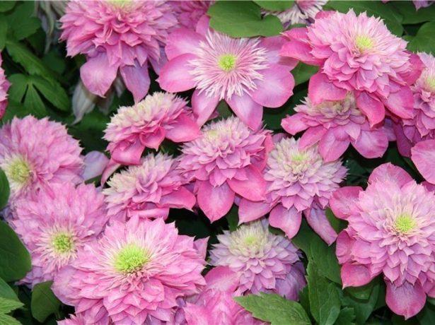 Цветки клематиса Кайзер