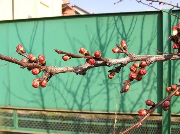 Побеги абрикоса в конце февраля в средней полосе России