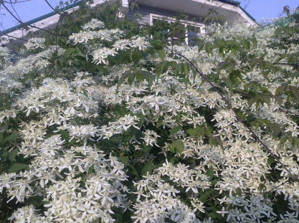 Клематис маньчжурский в саду