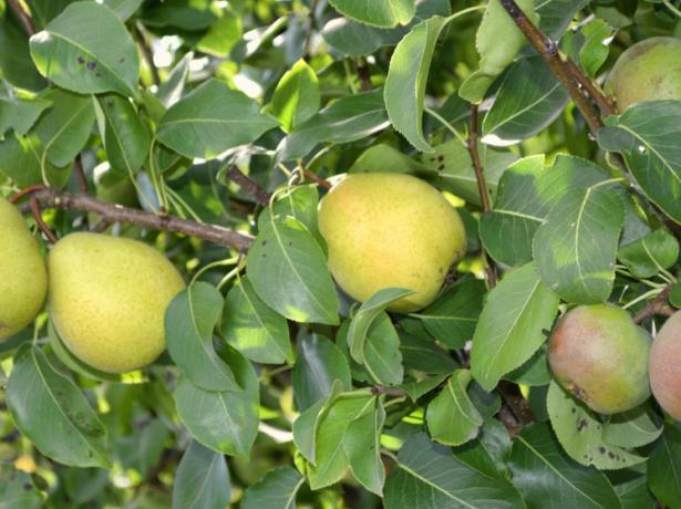 Яблоня, привитая на грушу