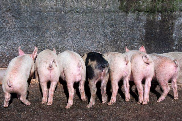 Ширины кормушки для свиней должно хватать на всех обитателей клетки, иначе кто-то постоянно будет оставаться голодным
