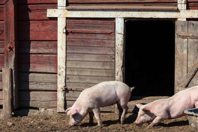 Помещение для содержания свиней должно быть светлым, тёплым, просторным и сухим