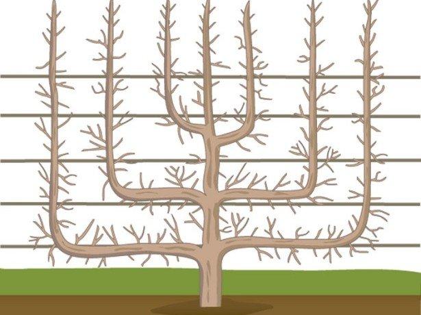 Формы абрикосовых деревьев