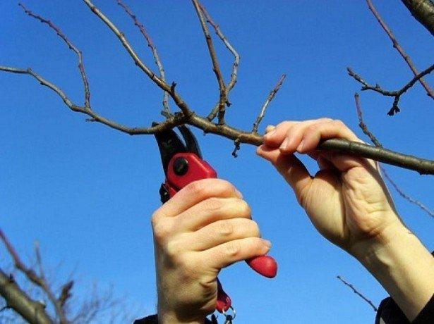 Как правильно обрезать молодой абрикос