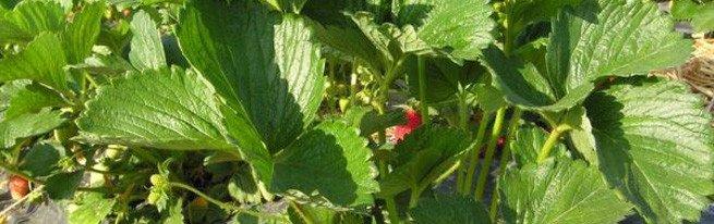 Ранний урожай домашней клубники в тепличных условиях