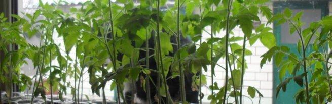 Здоровая рассада - залог высокого урожая помидоров