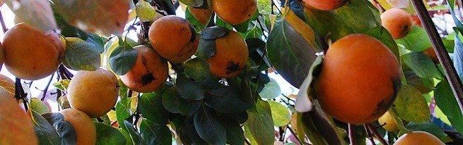 Необычное дерево с замечательными плодами – хурма