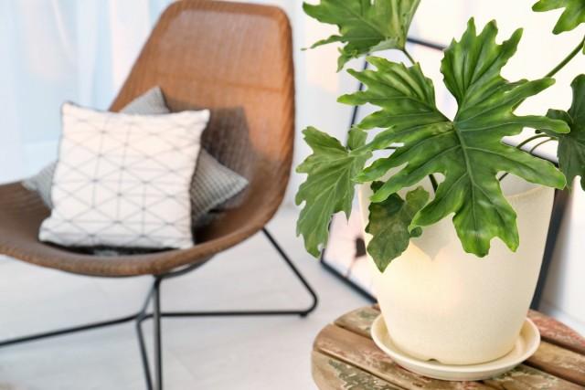 5 самых эффектных комнатных растений с крупными листьями