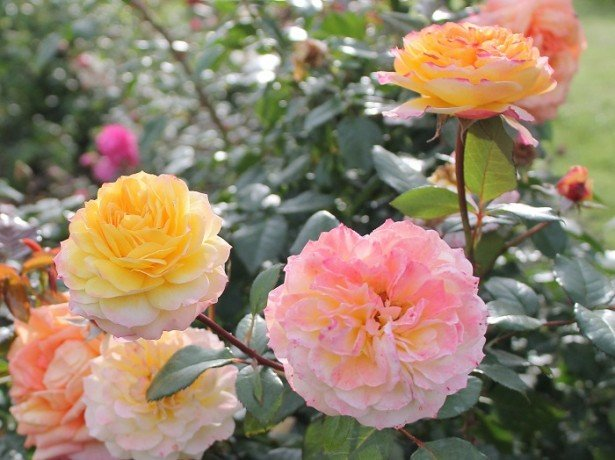 На фотографии розы