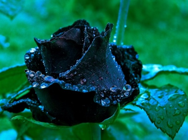 Фотография черной розы
