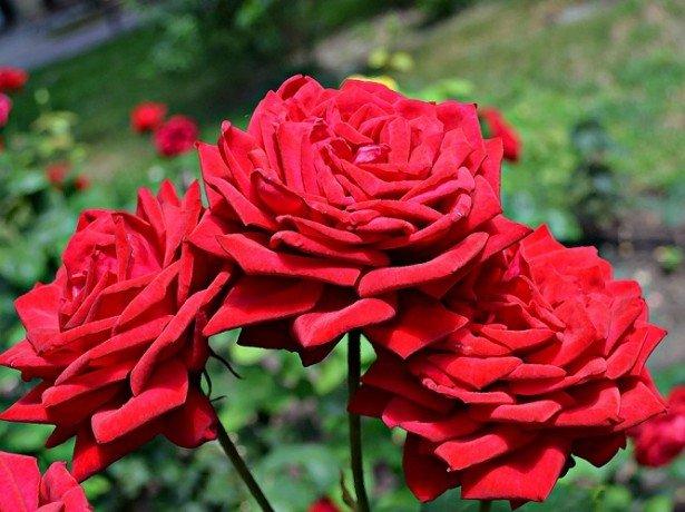 На фотографии красные розы