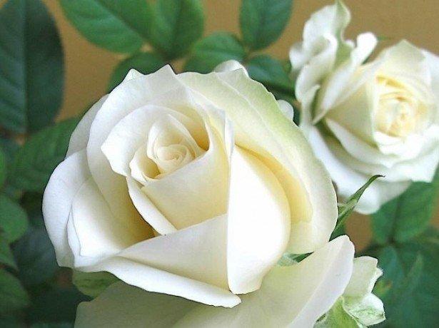 Фотография белых роз